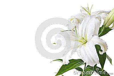 изолированная лилия