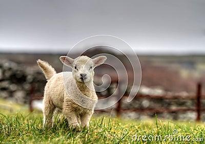 ирландская овечка