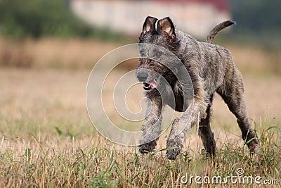 Ирландский wolfhound