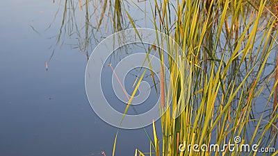 Кветы породы плавают и рыболовецкие стержни на фоне воды озера или пруда Понятие охраны природы, отдыха видеоматериал