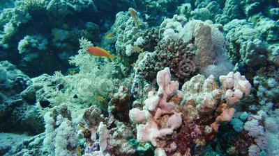 Кета древесного мягкого коралла на склоне рифа сток-видео