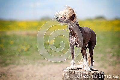 Китайская crested собака