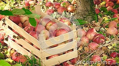 Клеть вполне яблок и яблок посыпанных вокруг акции видеоматериалы