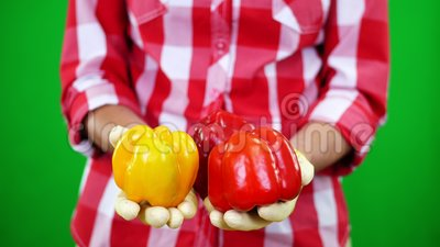 Конец-вверх, женские руки ` s фермера в перчатках держит 2 свеже выбранных желтых и красных сладостных перца на Chromakey, зелено сток-видео