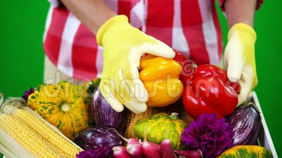 Конец-вверх, женские руки ` s фермера в перчатках держит 2 свеже выбранных желтых и красных сладостных перца на Chromakey, зелено видеоматериал