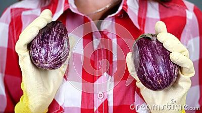 Конец-вверх, женские руки ` s фермера в перчатках держит 2 свеже выбранных баклажана на checkered предпосылке рубашки, в студии акции видеоматериалы