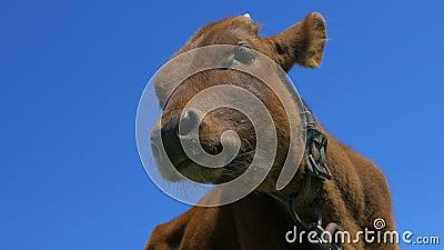 Конец-вверх икры, голова коровы
