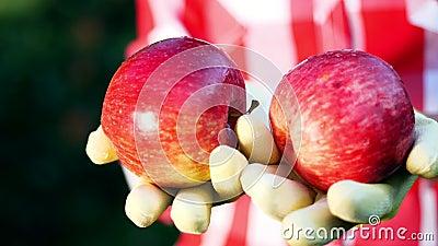 Конец-вверх, свеже выбранные красные яблоки в солнечности освещает руки ` s фермера в перчатках держат 2 зрелых красных яблока видеоматериал
