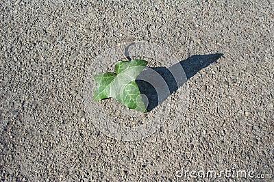 конкретная текстура листьев плюща