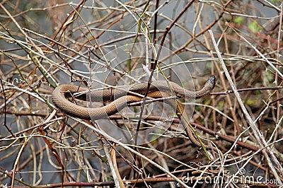 коричневая змейка