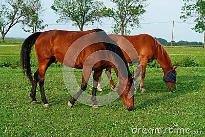 коричневые лошади