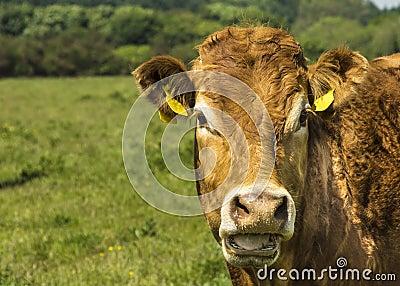 Корова Лимузина