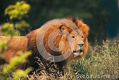 король зверей