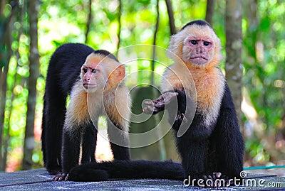 Коста monkeys спайдер rica