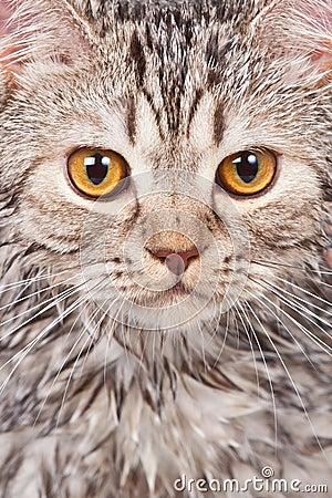 кот влажный