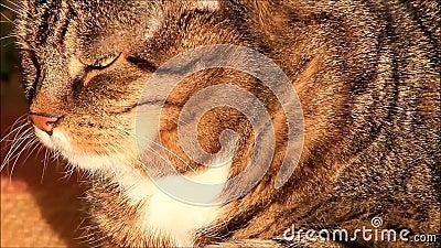 кот, жара кота tabby, выравнивая солнце, вискеры видеоматериал