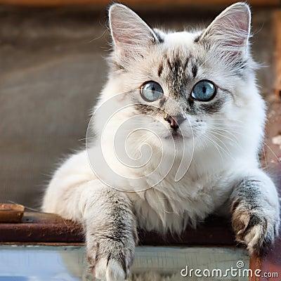 кот сиамский