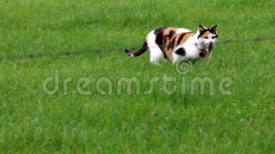 Кот ситца улавливает мышь в голландском поле акции видеоматериалы