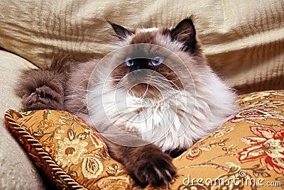 кот himalayan