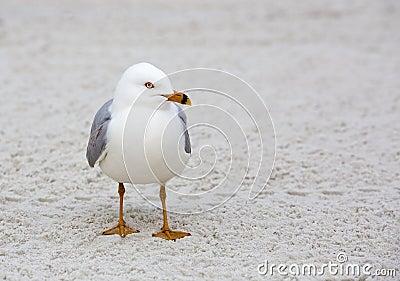 Кольц-представленная счет чайка (delewarensis Larus)