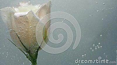 Красивая кремово-цветная роза найдена в чистой кристаллической воде Пузырьки воздуха окружили цветок и акции видеоматериалы
