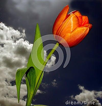 красивейший тюльпан