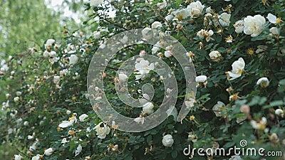 Красивый куст куста белой розы outdoors Конец-вверх видеоматериал