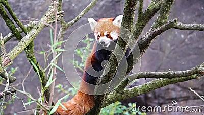 Красная панда, стоящая высоко на дереве и оглядывающаяся вокруг, исчезающая из Азии разновидность животного сток-видео