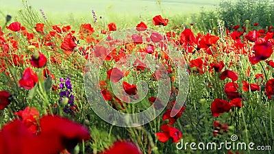 Красное поле цветка мака акции видеоматериалы