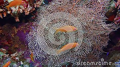 Красноморское море бьет Эллиселлу кормление под водой в Египте видеоматериал