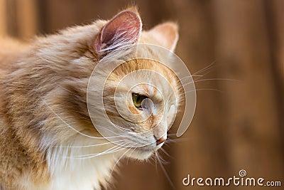 Красный енот Мейна в профиле