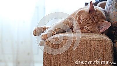 Кот есть, сиамский коричневый кот идя внутри и старт есть ...