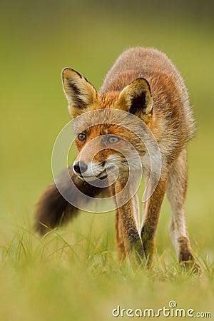 красный цвет лисицы