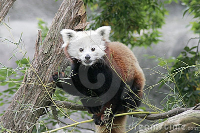 красный цвет панды
