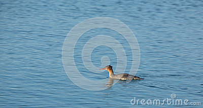 Красный-breasted Merganser