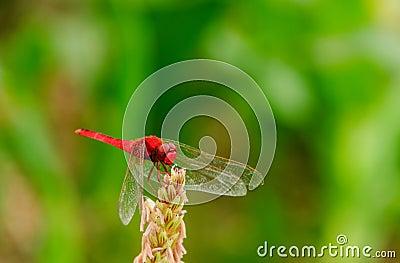 Красный dragonfly