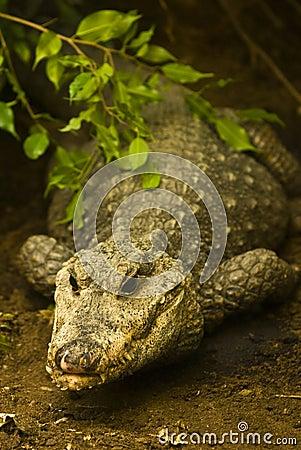 крокодил скрываясь