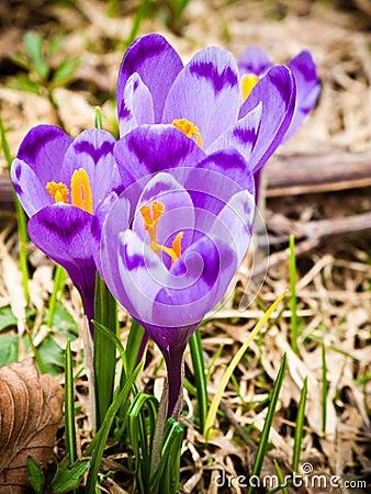 крокус цветет фиолет