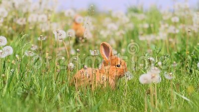 Кролики, который побежали среди одуванчиков на солнечный день видеоматериал