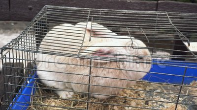 Кролик крупного плана a белый сидит в клетке утюга и ест сено Сметанообразный зайчик расположен в клетке металла и ест сухую трав видеоматериал