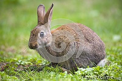 кролик одичалый