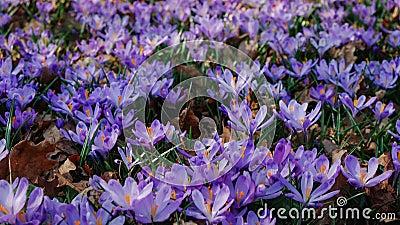 Крупный план весны крокусов цветет в лесе видеоматериал