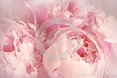 Крупный план цветков пиона