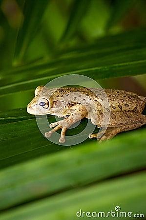Кубинская лягушка вала на frond ладони