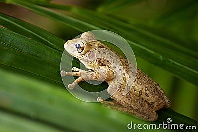 Кубинская лягушка вала