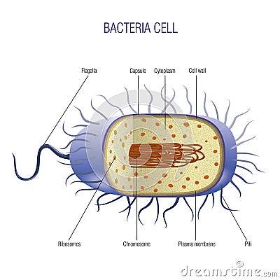 Клетка бактерий