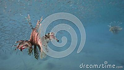 Лев Прыжки в воду в красном море возле Египта видеоматериал