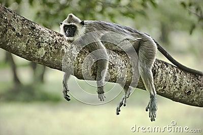 ленивая обезьяна