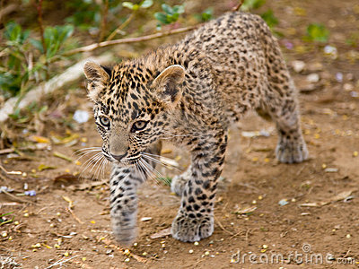 леопард новичка
