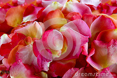 Лепестки Rose